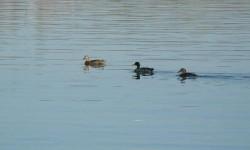 Les canards.